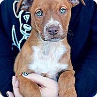 Adopt A Pet :: Zucca - Justin, TX