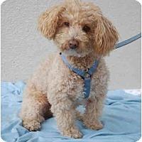 Adopt A Pet :: Marco Poodle - San Francisco, CA