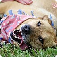 Adopt A Pet :: Suzi - Albany, NY