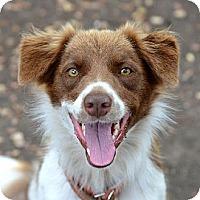 Adopt A Pet :: Cherry - Garland, TX