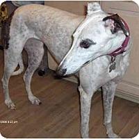 Adopt A Pet :: Lacey - Philadelphia, PA