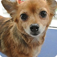 Pomeranian/Chihuahua Mix Dog for adoption in Southeastern, Pennsylvania - Star
