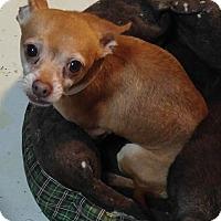 Adopt A Pet :: Nibbles - Matthews, NC