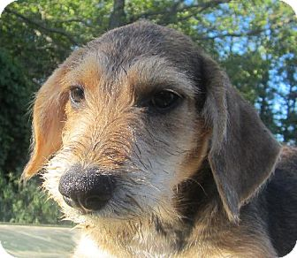 Beagle/Terrier (Unknown Type, Medium) Mix Puppy for adoption in Waldron, Arkansas - RILEY