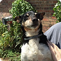 Rat Terrier Mix Dog for adoption in Blanchard, Oklahoma - Pooh