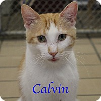 Domestic Shorthair Cat for adoption in Bradenton, Florida - Calvin