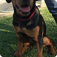 Adopt A Pet :: Bosco - Santa Ana, CA