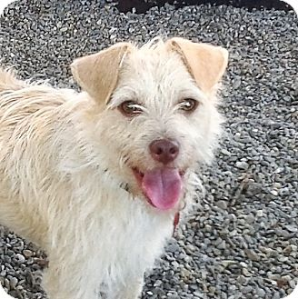 Terrier (Unknown Type, Small) Mix Dog for adoption in Oakley, California - Skylar