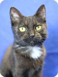 Domestic Shorthair Kitten for adoption in Winston-Salem, North Carolina - Rio