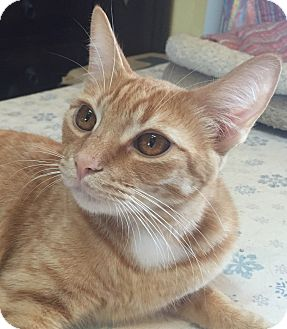 Domestic Shorthair Kitten for adoption in Encinitas, California - Marigold