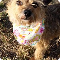 Cairn Terrier Mix Dog for adoption in Norman, Oklahoma - Nokia