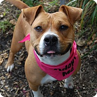 Bulldog Mix Dog for adoption in Wilmington, Delaware - Cookie