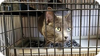 Russian Blue Cat for adoption in Muskegon, Michigan - Rosa  (Declaw)