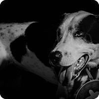 Adopt A Pet :: Oreo - Dallas, TX