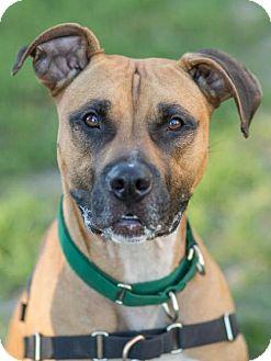 Pit Bull Terrier Dog for adoption in Methuen, Massachusetts - JAX