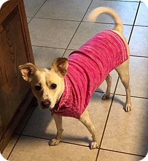 Jack Russell Terrier Mix Dog for adoption in Dallas/Ft. Worth, Texas - Amy In Dallas