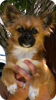 Pomeranian/Chihuahua Mix Puppy for adoption in Thousand Oaks, California - Peanut