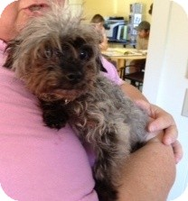 Yorkie, Yorkshire Terrier Mix Dog for adoption in Kalamazoo, Michigan - Chloe