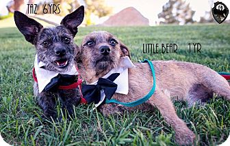 Cairn Terrier Mix Dog for adoption in Scottsdale, Arizona - Little Bear