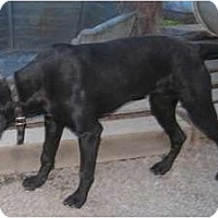 Labrador Retriever/Coonhound (Unknown Type) Mix Dog for adoption in Tahlequah, Oklahoma - Bella