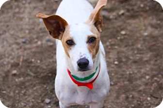 Jack Russell Terrier/Rat Terrier Mix Dog for adoption in New Boston, New Hampshire - Rhianna