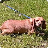 Adopt A Pet :: Penny - Dumfries, VA