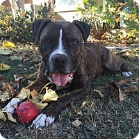 Boxer/American Pit Bull Terrier Mix Dog for adoption in Hawthorne, California - Buddy
