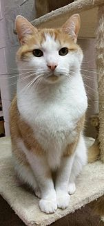 Domestic Shorthair Cat for adoption in Mt. Airy, North Carolina - Queso