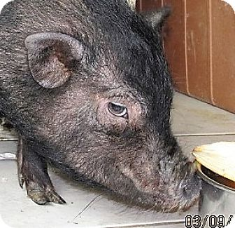 Pig (Potbellied) for adoption in Germantown, Maryland - Summer