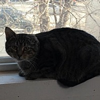 Domestic Shorthair Cat for adoption in Cincinnati, Ohio - zz 'Molly' courtesy listing URGENT!