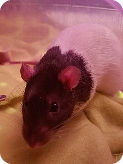 Rat for adoption in Dallas, Texas - Obi Wan & Han Solo