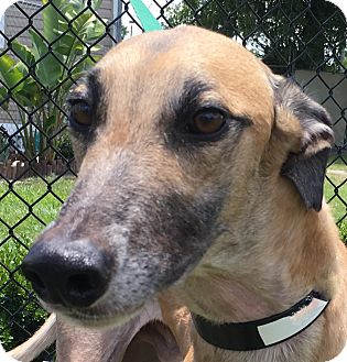 Greyhound Dog for adoption in Longwood, Florida - Ponce