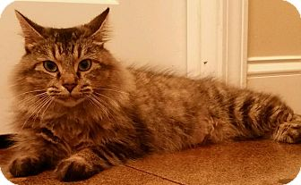 Domestic Mediumhair Cat for adoption in Hopkinsville, Kentucky - FOXY