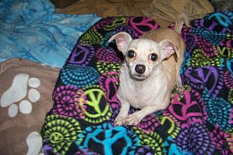 Chihuahua Dog for adoption in Glendale, Arizona - Scooby