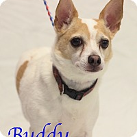 Adopt A Pet :: Buddy - Bradenton, FL