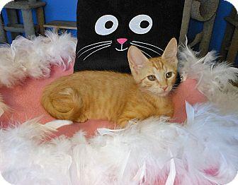 American Shorthair Kitten for adoption in Glendale, Arizona - Sadie
