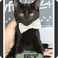 Domestic Shorthair Kitten for adoption in Arlington, Texas - Jet