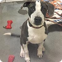 Adopt A Pet :: Gina - Wilmington, DE