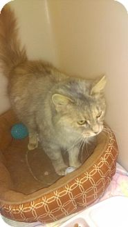 Domestic Mediumhair Cat for adoption in South Haven, Michigan - Meadow