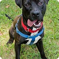 Adopt A Pet :: Napoleon - Portsmouth, VA