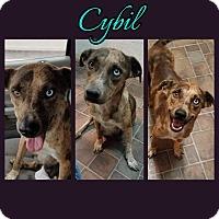 Adopt A Pet :: Cybil - New Milford, CT