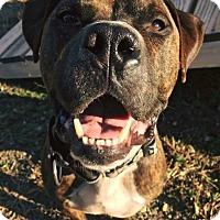 Adopt A Pet :: Boo - Cranston, RI