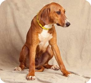 american foxhound lab mix