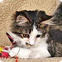 Adopt A Pet :: Raggedy Ann - Davis, CA