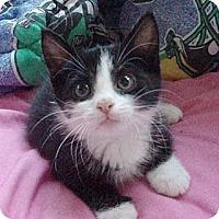 Adopt A Pet :: Britney - Germansville, PA