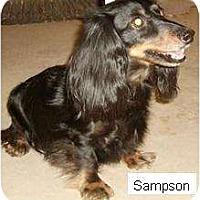 Adopt A Pet :: Sampson - Gilbert, AZ