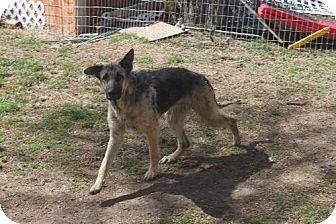 German Shepherd Dog Dog for adoption in Sebec, Maine - PHEONIX