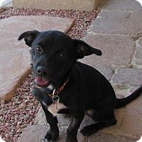 Adopt A Pet :: Max 1 - Las Vegas, NV
