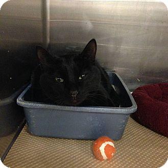 Domestic Shorthair Cat for adoption in Washington, Pennsylvania - Midnight