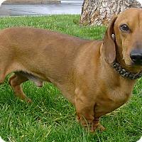 Adopt A Pet :: Ralph purebred - Sacramento, CA